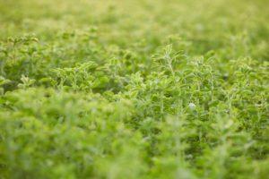 Close-up of alfalfa